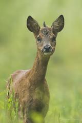 Licorne ! (Etienne-Laetitia) Tags: chevreuil brocard wildlife nikon 400f28 sauvage photography natgeo