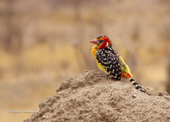 IMGP0400 (b kwankin) Tags: africa barbetredandyellow bird tanzania tarangire