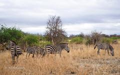 IMGP0791 (b kwankin) Tags: africa landscape tanzania tarangire zebra