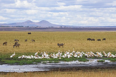 IMGP0682 (b kwankin) Tags: africa bird landscape pelicangreatwhite tanzania tarangire zebra