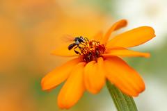Busy Bee (Whitejellybeanz) Tags: native australian daisy orange macro flower stingless