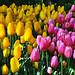 Keukenhof Tulip Garden at