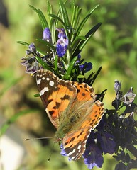 The Painted Lady Butterfly migration shows no sign of stopping. (Ruby 2417) Tags: painted lady butterfly insect wildlife nature davis arboretum university california college park