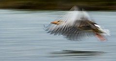 Shower Curtain Goose - This photographic theory is correct! (Ann and Chris) Tags: amazing bird beautiful translucent effect flying incredible impressive lake goose photoraphic slowshutter rutland rutlandwater stunning unbelievable unusual water wild wings wildllife