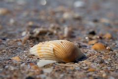 Shell (Patricia Woods) Tags: nikon z6 hervey bay holiday urangan beach