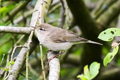 Willow warbler. (dave harrison143) Tags: willow warblers