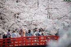 _DSC4034 (maomao.feng) Tags: 東京 千本桜 桜 弘前城 お花見