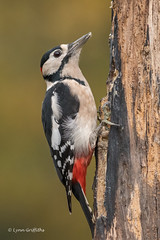 Great Spotted Woodpecker 501_6828.jpg (Mobile Lynn) Tags: nature greatspottedwoodpecker birds woodpecker bird dendrocoposmajor fauna forest picidae piciformes tree wildlife coth specanimal