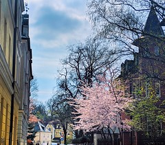 springtime in Munich (ekelly80) Tags: germany munich april2019 spring blossoms flowers cherryblossoms light sun sunny glow tree pink