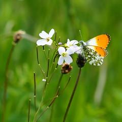Orange tip (nikjanssen) Tags: butterfly orangetip oranjetipje nature macro spring