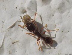 Ant with a bug (Psocoptera sp.?) (Geminiature Nature+Landscape Photography Mallorca) Tags: ant hormiga presa mier catch macro raynox dcr 250 mallorca psocoptera