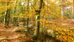 New Forest NP, Hampshire, UK (east med wanderer) Tags: england uk hampshire newforestnationalpark nationalpark autumn stream trees forest beech oak bracken walk leaves