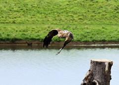 ....predator.... (robertoburchi1949) Tags: animali animals uccelli birds falco hawk colours colori