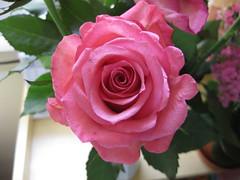 Rosen (✿ Esfira ✿) Tags: blume flower rose