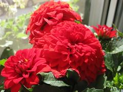 Rote Blumen (✿ Esfira ✿) Tags: blumen flowers
