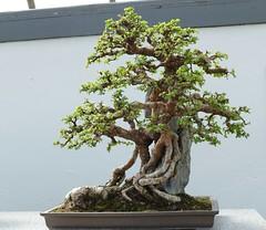 Panasonic FZ1000, Bonsai, Botanical Gardens, Montréal, 7 April 2019 (18) (proacguy1) Tags: panasonicfz1000 bonsai botanicalgardens montréal 7april2019