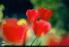 Red Tulips (Ludtz) Tags: ludtz canon fdsystem kodak kodakcolorplus200 negative analog film canonae1program canonfdn200 28 canonfd douvaine 74 hautesavoie fleurs flowers flower fleur spring printemps tulipes tulips red rouge