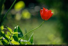 Red Tulip (Ludtz) Tags: ludtz canon fdsystem kodak kodakcolorplus200 negative analog film canonae1program canonfdn200 28 canonfd douvaine 74 hautesavoie fleurs flowers flower fleur spring printemps tulipes tulips red rouge