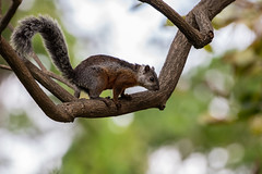 Variegated Squirrel (KarsKW) Tags: nature photography karskw kars klein wolterink costa rica cr february 2019 animals wildlife canon eos 750d