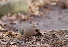 Mourning Dove (Peter Simpson) Tags: ottawa woodland mourningdove