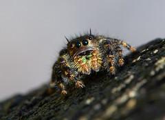 Jumping Spider (arlene sopranzetti) Tags: jumping spider black green lenape park kenilworth new jersey macro