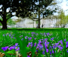 quiet place (ekelly80) Tags: dc washingtondc april2019 spring flowers capitolhill capitol green grass purple view