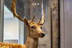 04-Cerf (Alain COSTE) Tags: jardinpublic museum 2019 nikon bordeaux gironde france