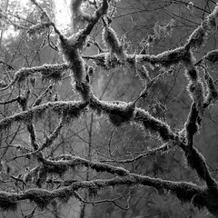 Tree Moss 002 (noahbw) Tags: columbiagorge d5000 moss nikon oregon pacificnorthwest abstract blackwhite blackandwhite branches bw forest light monochrome natural noahbw spring square tree trees woods