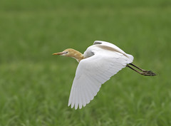 Cattle egret in flight. Bubulcus ibis (okiox) Tags: bubulcusibis cattle egret bird animal grass wildlife nature bokeh flight okinawa japan asia flying field spring plumage migratory d500 300mm28 fauna avian beak orange eye wing white