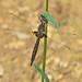 Common baskettail ( Epitheca cynosura)