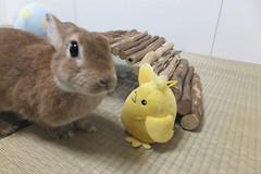 Ichigo san 1536 (Errai 21) Tags: いちごさん ひよこと一緒 ichigo san  ichigo rabbit bunny cute netherlanddwarf pet うさぎ ウサギ いちご ネザーランドドワーフ ペット 小動物 1536