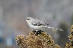Mockingbird (lablue100) Tags: mockingbird birds bird animals plants perch wings planat dky action nature landscapes