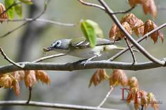 Blue-headed Vireo (David Pinkerton) Tags: birds blueheadedvireo