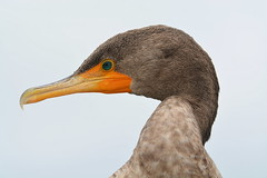 DOUBLE-CRESTED CORMORANT INMATURE PORTRAIT (concep1941) Tags: birds cormorantfamily coasts lakes