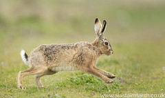 Hare on the Run (Alastair Marsh Photography) Tags: hare hares brownhare brownhares mammal mammals mammalsociety rspb havergate rspbhavergateisland havergateisland islands island orford suffolk animal animals animalsintheirlandscape wildlife britishwildlife britishanimals britishanimal britishmammals britishmammal photography wildlifephotography