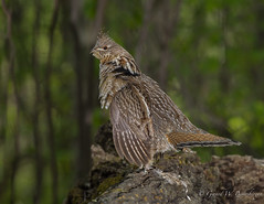Ruffed Grouse (Turk Images) Tags: aspenparkland bonasaumbellus isletlake ruffedgrouse drumminglog alberta birds breeding phasianidae rugr male spring