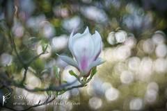Magnolia Bokeh (Sylvia Slavin ARPS (woodelf)) Tags: tree trees arboretum thorpperrow vintagelens bubblebokeh bokeh flower flowers magnolia vintage meyergoerlitztrioplan meyeroptiks trioplan