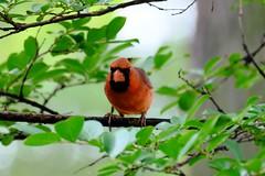Northern Cardinal 04 05.11.19 (Gene Ellison) Tags: bird northerncardinal male red feathers eyes beak tree branch leaves fujifilm velvia