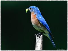 Mr. Bluebird with a snack for the kids (RKop) Tags: raphaelkopanphotography nikon 600mmf4evr californiawoodspark ohio cincinnati 14xtciii