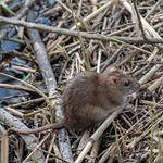 La Meurthe - Rat brun thumbnail