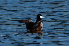 Ruddy Duck (Daren Grilley) Tags: d850 oxyura jamaicensis blue bill santa barbara wildlife nikon 200500