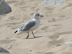 ring-billed gull in early fall (Cheryl Dunlop Molin) Tags: