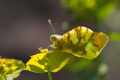 Zegris eupheme (Esper, 1804) (ajmtster) Tags: macrofotografía macro insecto invertebrados mariposa mariposas lepidopteros pieridae pieridos zegriseupheme zegris eupheme elzegri butterfly butterflies amt sundaylights euphorbiaserrata
