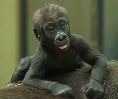 western lowlandgorilla Damsi artis 094A0449 (j.a.kok) Tags: animal artis africa afrika aap ape mammal monkey mensaap primate primaat zoogdier dier gorilla westelijkelaaglandgorilla westernlowlandgorilla lowlandgorilla laaglandgorilla damsi