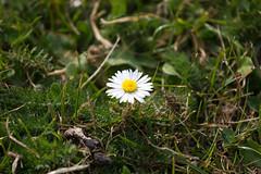 Where is everybody? (ArtGordon1) Tags: davegordon davidgordon daveartgordon davidagordon daveagordon artgordon1 april 2019 spring london england uk wildflowers daisy daisies petals waterworksnaturereserve