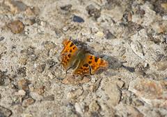 Sunning (ArtGordon1) Tags: davegordon davidgordon daveartgordon davidagordon daveagordon artgordon1 april 2019 spring london england uk waterworksnaturereserve butterfly