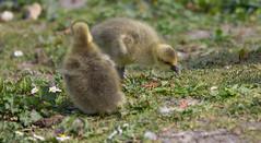 Goslings (ArtGordon1) Tags: davegordon davidgordon daveartgordon davidagordon daveagordon artgordon1 april 2019 spring london england uk goslings