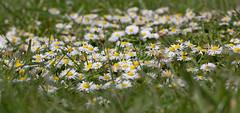 Daisy City (ArtGordon1) Tags: davegordon davidgordon daveartgordon davidagordon daveagordon artgordon1 april 2019 spring london england uk wildflowers daisy daisies petals waterworksnaturereserve