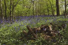 Bluebells (Kam Sanghera) Tags: bluebell bluebells wood uk england kent poultonwood poulton landscape colour flowers wild blue violet purple countryside canon eos 5d mark ii ef1740mm f4l usm ef 1740mm 1740 mm l
