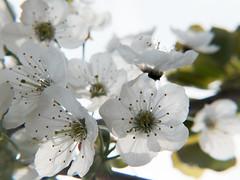 White cherry tree blossom (Andy Sut) Tags: england uk flora tree nature blossom whitecherrytree